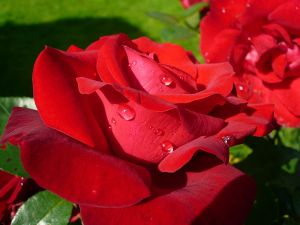 800px-Rose_rouge
