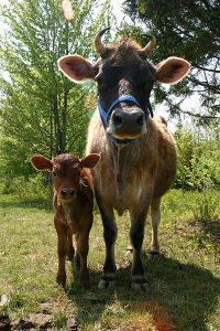 400px-Jersey_cow_and_her_calf-1