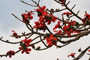 Semal_(Bombax_ceiba)_flowers_in_Kolkata_W_IMG_4132