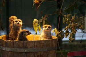 meerkats tub